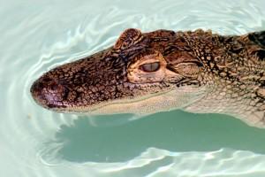 alligator dreamstime free